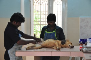 Dog getting prepared for sterilization