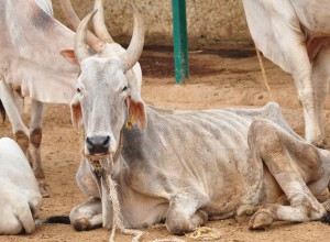 Old cows are able to die a natural and peaceful death at Karuna